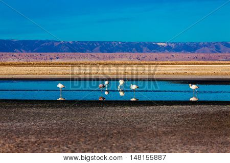 Flamingos at Atacama Desert Salar, Chile