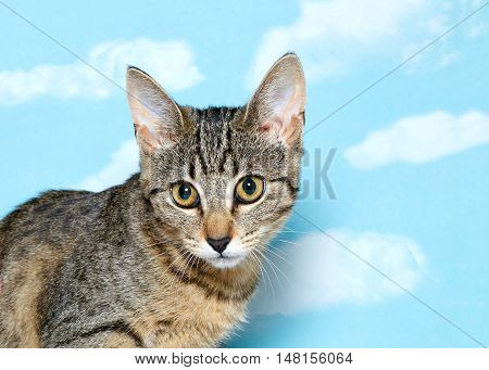 Portrait of a Black brown and white tabby kitten with long thin ears looking to viewers left. Blue background sky with white clouds. Copy space.