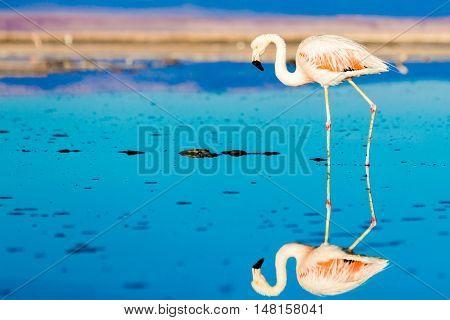 Flamingos at Atacama Desert Salar, Chile