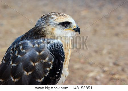 Portrait of a young falcon with blurred background