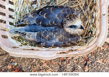 young falcon bird in basket in a basket