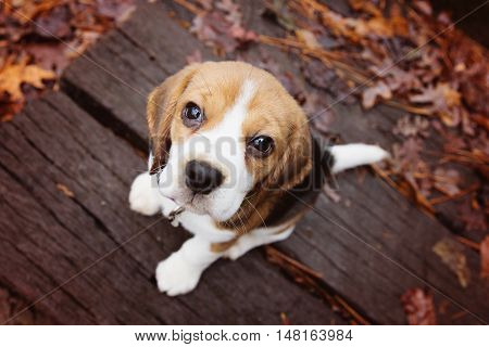 Adorable beagle puppy with big brown eyes