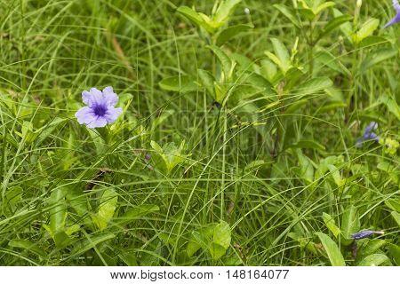 Petunias/ruellia Tuberosa Purple Wildflower On Nature Background.