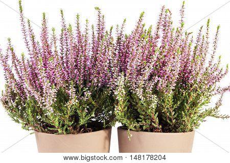 Flowers of pink Calluna vulgaris in pot on white background