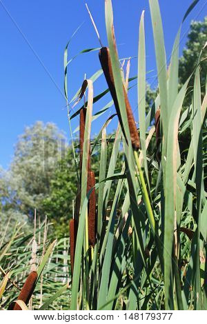 Common bulrush (Typha latifolia) or Broadleaf cattail