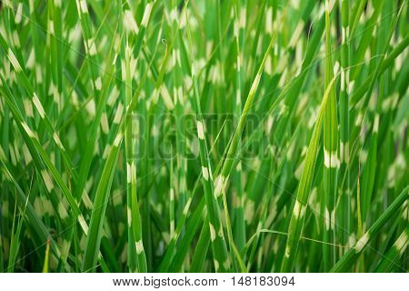 Stripped Green Ornamental Grass Background