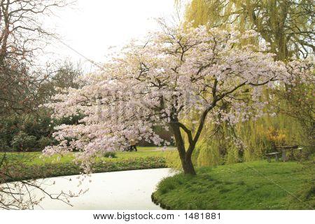 Cherry Blossom Sakura Tree