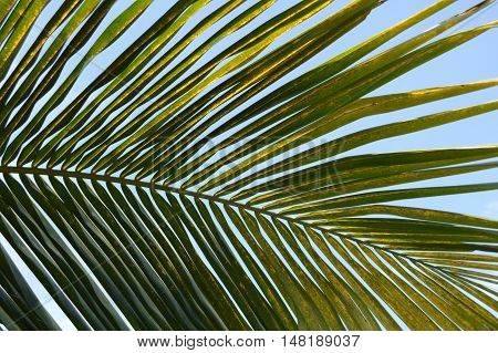 close up green coconut leaves in nature garden