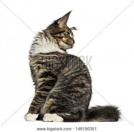 Side view of a Maine Coon cat sitting and looking back isolated on white