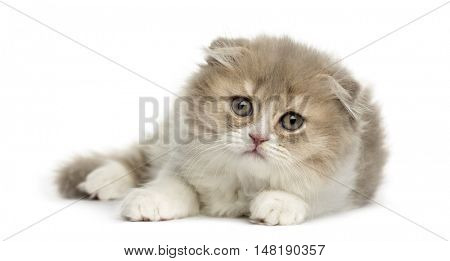 Young Highland Fold kitten lying down isolated on white