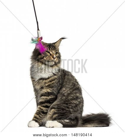 Side view of a Maine Coon cat bored by a stick toy isolated on white