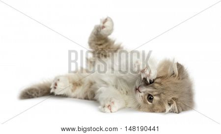 Young Highland Fold kitten lying on his side and pawing up isolated on white