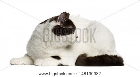 Side view of a British Shorthair cat lying down and looking away isolated on white