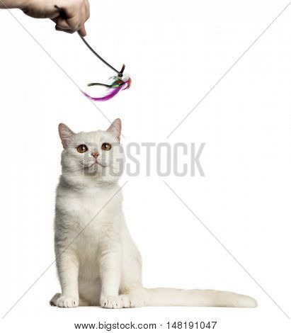 Front view of a British Shorthair cat sitting and playing with a stick toy isolated on white