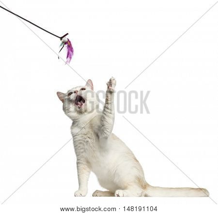 Side view of a British Shorthair cat sitting and playing with a stick toy isolated on white
