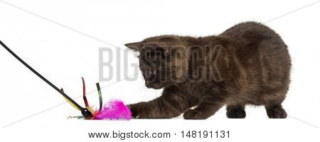 Young British Shorthair kitten playing with a stick toy isolated on white