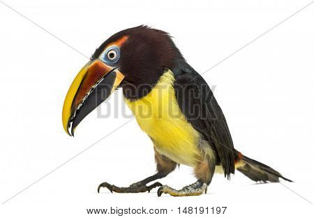 Side view of a Green aracari, Pterogossus Viridis looking down isolated on white