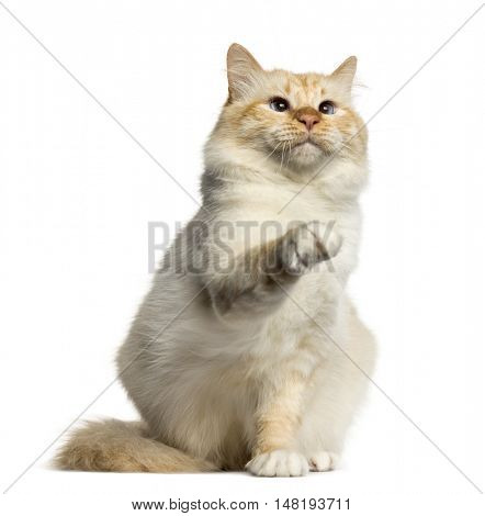 Birman cat pawing up isolated on white