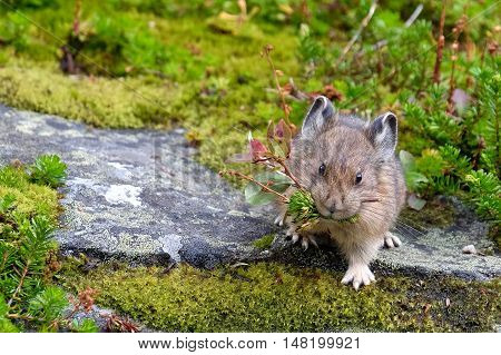 American Pika with grass. Rocky Mountains. Banff National Park. Alberta. Canada.