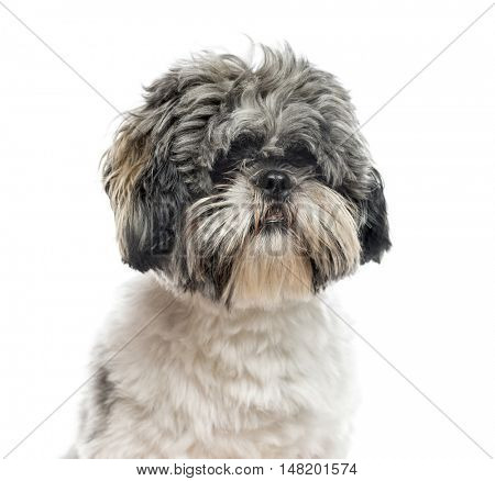 Close-up of Shih Tzu, 1 year old, isolated on white