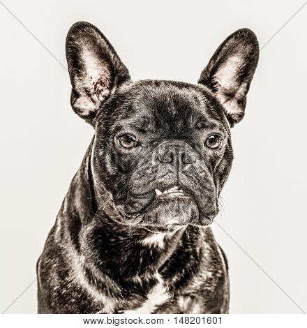 Close-up of French Bulldog, 2 years old, looking at camera with a tooth sticking out, isolated on white