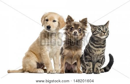 Group of two puppies and kitten; Cross-breed Labrador, 2 months old, Chihuahua, 6 months old, and European Shorthair, 3 months. Sitting and isolated on white