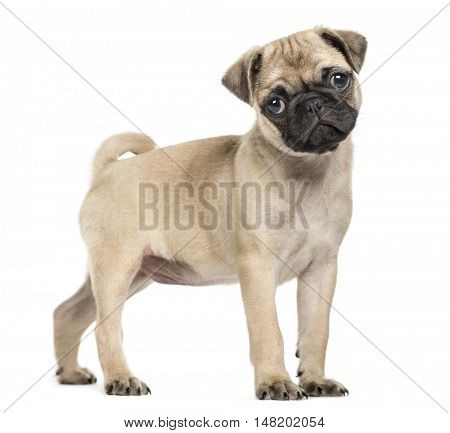 Pug puppy, 3 months old, standing and looking at camera with tilted head, isolated on white