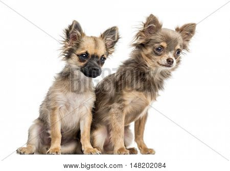 Two Chihuahua puppies, 4 and 6 months old, looking down and away from camera, isolated on white
