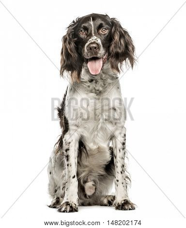 M�¼nsterlander, 4.5 years old, sitting and looking at camera while panting, isolated on white