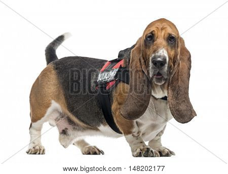 Beagle, 5 years old, wearing harness and looking at camera, isolated on white