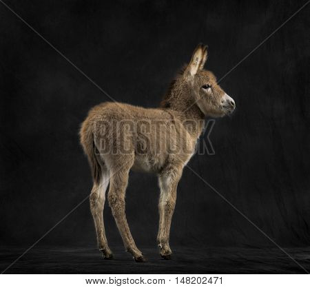 Rear view of a young provence donkey, foal against black background