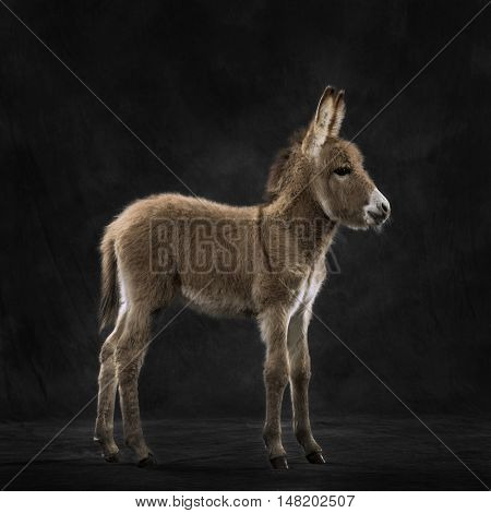 Side view of a young provence donkey, foal against black background