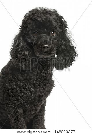 Close-up of Poodle looking at camera, 3.5 years old, isolated on white