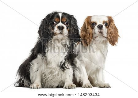 Two Cavalier King Charles Spaniels, 5 and 4 years old, sitting together, isolated on white
