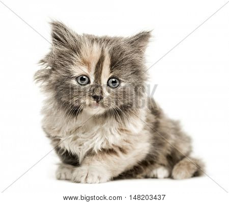 European Shorthair kitten, 1 month old, lying down looking at camera, isolated on white
