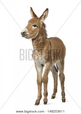 Young Provence donkey looking at the camera, foal isolated on white