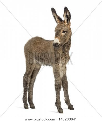 Side view of a young provence donkey, foal isolated on white