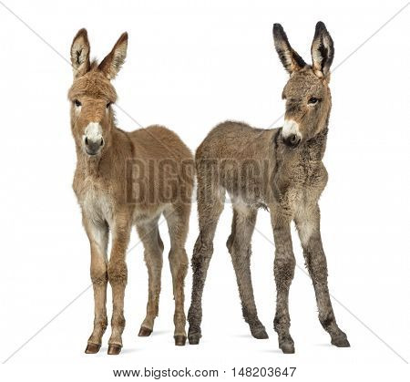 Two young Provence donkey looking at the camera, foal isolated on white