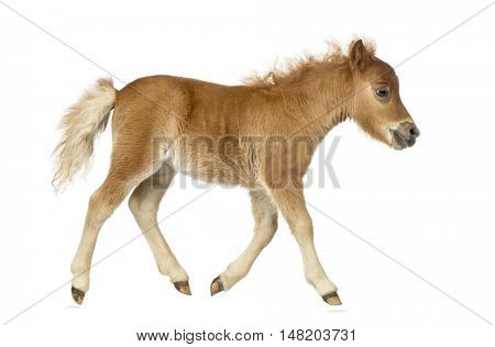 Side view of a young poney, foal trotting against white background