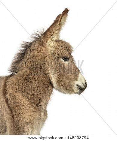 Close-up of a young Provence donkey, foal looking away isolated on white