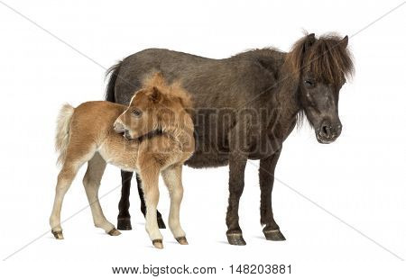 Side view of a Mother poney and her foal scratching against a white background