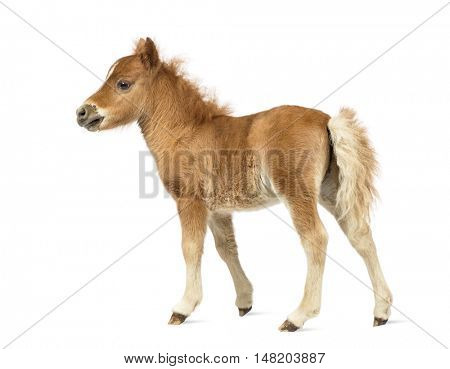 Rear view of a young poney, foal against white background