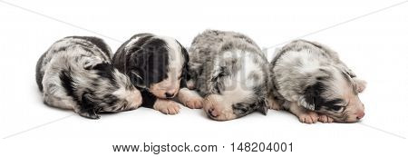 Group of 21 day old crossbreed between an australian shepherd and a border collie sleeping peacefully together, isolated on white