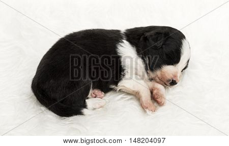 21 day old crossbreed between an australian shepherd and a border collie, sleeping peacefully on white fur