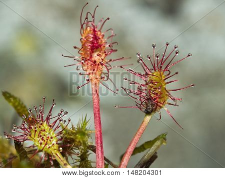 Round-leaved sundew (Drosera rotundifolia), carnivorous plant feeding with an insect