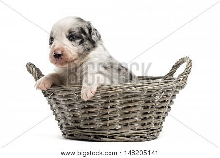21 day old crossbreed between an australian shepherd and a border collie in a basket, isolated on white