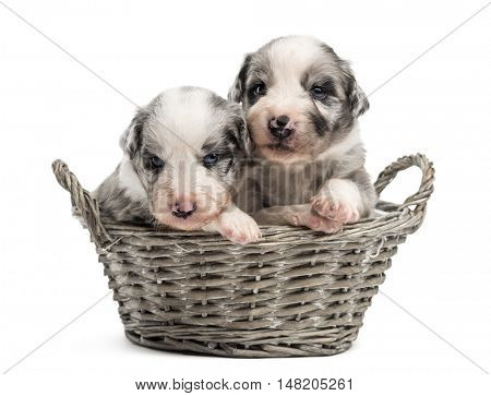 Two 21 day old crossbreed between an australian shepherd and a border collie in a basket, isolated on white
