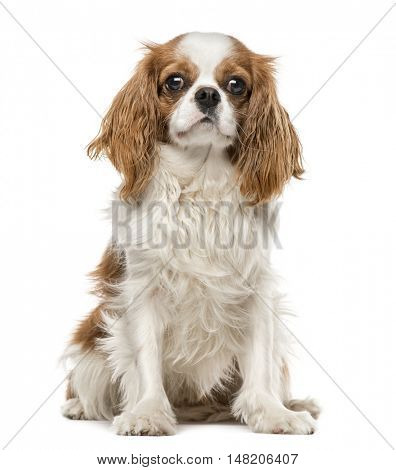 Cavalier King Charles Spaniel sitting, 1 year old, isolated on white
