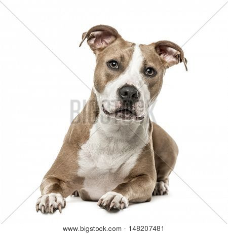 American Staffordshire Terrier lying, 15 months old, isolated on white