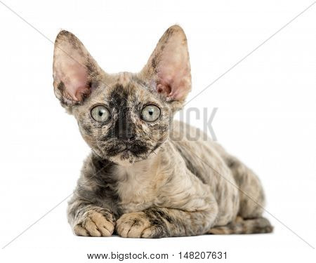 front view of a Devon rex cat lying down isolated on white